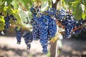 Wijngaard Bourgogne Beaune vakantie in Bourgogne